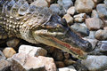 Free Crocodile On Stone Stock Photos - 20195133