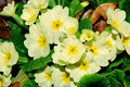 Free Primrose After Rain Stock Image - 20196221