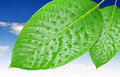 Free Dewy Leaves Royalty Free Stock Photo - 20199635