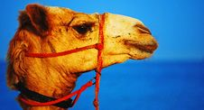 Camel S Head Royalty Free Stock Image