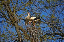 Free Stork On Wing Royalty Free Stock Photos - 20194638
