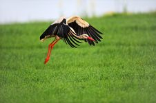 Free Stork On Wing Stock Photos - 20194793