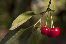 Free Sweet Cherry Branch Stock Photos - 20194843