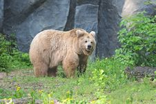 Free Brown Bear Royalty Free Stock Image - 20195006