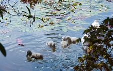Free Baby Cygnets On Blue Water Stock Images - 20196384
