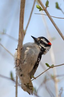 Free Downy Woodpecker Stock Photography - 20196392