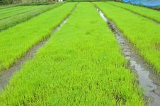 Free Rice Field Royalty Free Stock Photography - 20197277