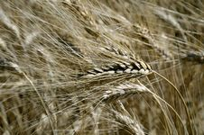 Free Wheat Field Stock Photo - 20198170
