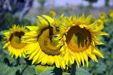 Free Sun Flower Royalty Free Stock Photos - 20198178