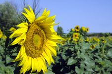 Free Sun Flower Royalty Free Stock Image - 20198186