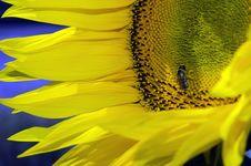 Free Sun Flower Stock Photo - 20198190