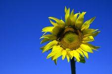 Free Sun Flower Stock Image - 20198191