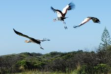 Free Crowend Cranes In Flight Stock Photos - 20198673