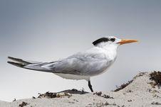 Free Standing Tern Stock Photos - 20198963