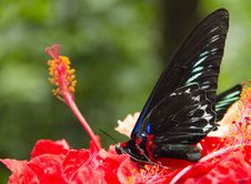 Dead Colourful Butterfly Laying On Hibiscus Stock Photo