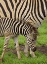 Free Young Zebra And Mother Royalty Free Stock Photos - 2020718