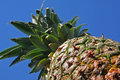 Free Pineapple Royalty Free Stock Photo - 2026405