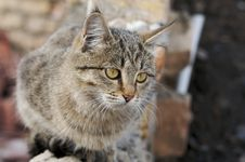 Free Grey Cat Royalty Free Stock Image - 2020236
