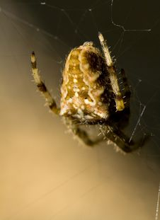 Free Spider In Attended Royalty Free Stock Photo - 2020275