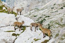 Free Group Of Wild Ibex Royalty Free Stock Photos - 2020438