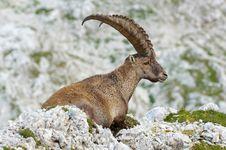 Free Old Ibex Stock Image - 2020471