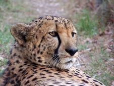 Free CheetahEye16 Stock Photography - 2020582