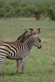 Free Three Zebras, One Snarling Stock Image - 2020641