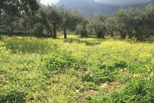 Olives Cultivation °°° Threes & Yellow Wild Flowers. Royalty Free Stock Photo
