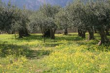 Olives Cultivation 11 Threes & Yellow Wild Flowers. Royalty Free Stock Photos