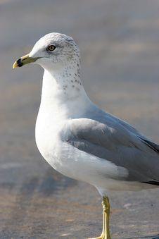 Free Seagull Posing Stock Photography - 2023092