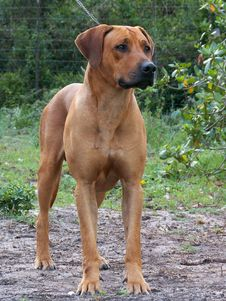 Free Ridgeback04 Stock Photos - 2024223