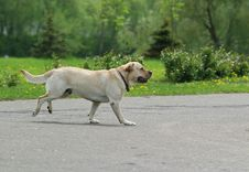 Free Labrador Retriever Dog Royalty Free Stock Photography - 2025077
