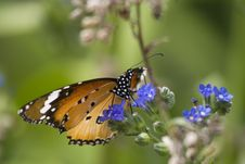 Free Beautiful Monarch Butterfloy On Blue Flower Stock Photo - 2026270