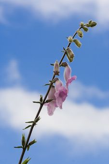Free Fresh, Beautiful Fox Glove Flowers Against Blue Sky. Royalty Free Stock Image - 2026326