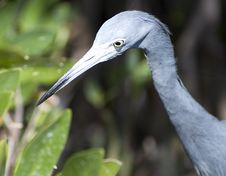 Free Little Blue Heron Royalty Free Stock Photo - 2028805