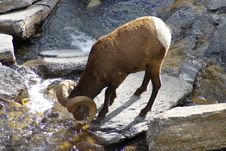 Free Big Horn Sheep A Royalty Free Stock Photography - 2028937