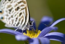 Free Extreme Close Up Of Beautiful Tiny Butterfly With Long Tongue Stock Images - 2029674