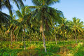 Free Coconut Grove Stock Image - 20201461
