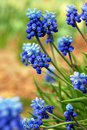 Free Fresh Muscari Flowers. Stock Photo - 20208370