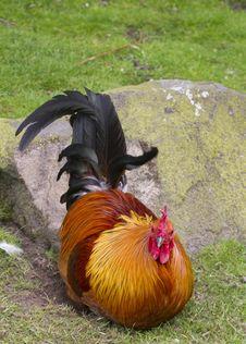 Free Cockerel Stock Image - 20200711