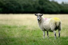 Free Sheep Royalty Free Stock Images - 20201309