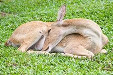 Free Deer Reclining Stock Images - 20201734