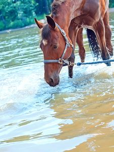 Free Nice Bay Mare In River Royalty Free Stock Images - 20207069