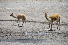 Free Vicuna And Calf Royalty Free Stock Images - 20207749