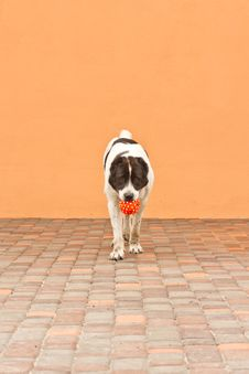 Free Dog With Ball Royalty Free Stock Photo - 20207975
