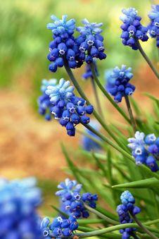 Free Fresh Muscari Flowers. Stock Photo - 20208370
