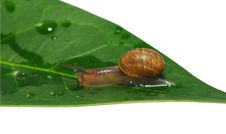 Free Snail Closeup Royalty Free Stock Image - 20209466