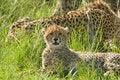 Free Cheetah Cub Royalty Free Stock Photo - 20216775