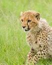 Free Cheetah Cub Royalty Free Stock Image - 20219486