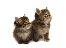 Free Two Kittens Royalty Free Stock Image - 20216196